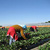 Guest Workers Revisited: Moroccan Immigrants, Spanish Strawberries, and Europe's Future